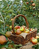 Apples, variety 'Alkmene', in garden