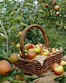 Äpfel der Sorte 'Alkmene' im Garten