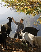 Man feeding goats on Alpine pasture (Maggia Valley, Switzerland)