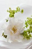 weiße Rosenblüte und Frauenmantel