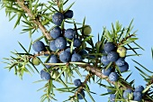 Juniper berries on the branch
