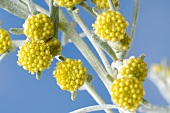Wormwood with flowers (close-up)