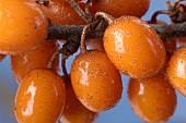 Sea buckthorn berries on the branch (close-up)