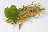 Nettle roots and leaf
