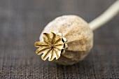 A poppy seed head