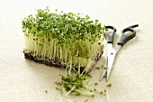 Broccoli sprouts and a pair of scissors