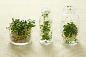 Cress, broccoli sprouts and rocket sprouts