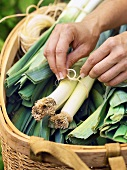 Tying leeks together