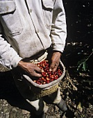 Worker at the coffee harvest (Xico, Veracruz, Mexico)