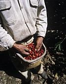 Arbeiter bei der Kaffeeernte (Xico, Veracruz, Mexiko)