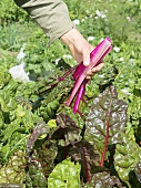 Picking red-stemmed chard