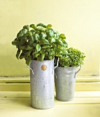 Basil and Thai basil in zinc containers