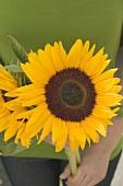 Hands holding sunflowers