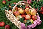 Korb mit frisch geernteten Äpfeln auf der Wiese