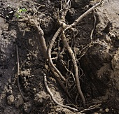 Liquorice roots in the ground