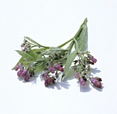 Comfrey with flowers
