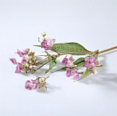 Himalayan balsam with flowers (component of Bach flower remedies)
