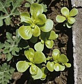 Purslane in vegetable bed