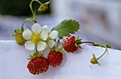 Wild strawberries with flowers