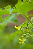 Tomato flowers on the plant