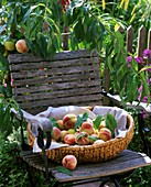 Peaches in a basket on a garden chair