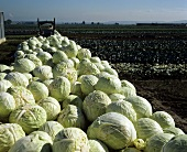 Harvested white cabbages