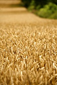 Field of wheat in Wiltshire, England