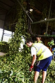 Workers with harvested hops