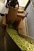 Hops being prepared for drying by workers