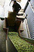 Hops being prepared for drying by a worker