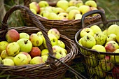 Apple harvest: baskets full of apples (cider apples)