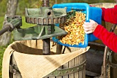Apple pulp being tipped into historic cider press