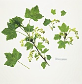 Currant branches with flowers