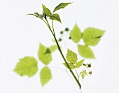 Raspberry branch with leaves