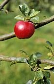 An apple on the tree