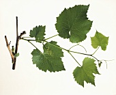 Vine branch