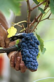 Red Sangiovese grapes (Tuscany, Italy)