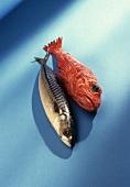 Eine Makrele und ein roter Fisch auf blauem Untergrund