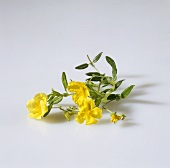 Yellow rock rose (Helianthemum nummularium)