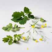 Greater celandine, flowers and leaves