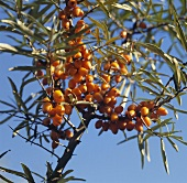 Ripe sea buckthorn berries on the bush