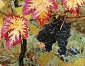 Dornfelder grapes on the vine