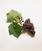 Pinot grigio grapes and vine leaves