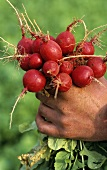 A hand holding a bunch of freshly picked organic radishes