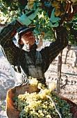 Chardonnay-Lese auf dem Weingut Zuccardi, Mendoza, Argentinien