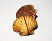 Two scallop shells with rubber bands