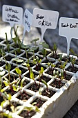 Vegetable and lettuce seedlings