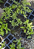 Young tomato plants in plastic pots