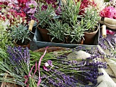 Flowering lavender and lavender plants in pots