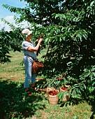 A woman picking cherries